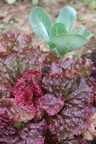 Salat und Kohl in Mischkultur