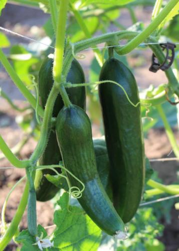 Gurke Bio-Gemüse Juni 2017
