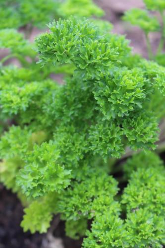 Petersilie Bio Gemüse Juni 2017 Grünes Glück