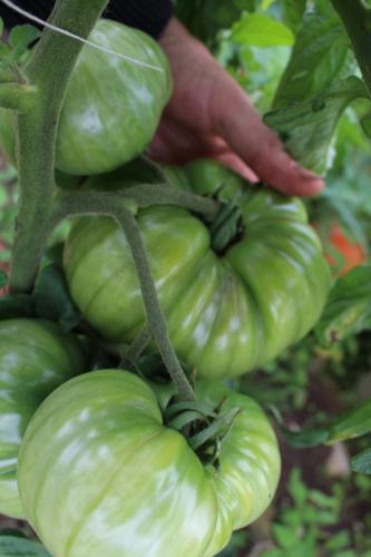 Tomaten wachsen und gedeihen