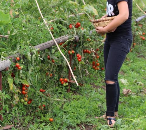 Tomaten über und über